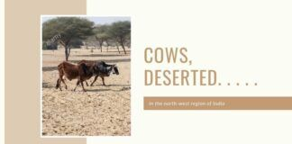 This year, more than 1,00,000 cows have already been lost. The intolerably poignant sight of dead young cows and dried cow carcasses are becoming common in the north-west region of India